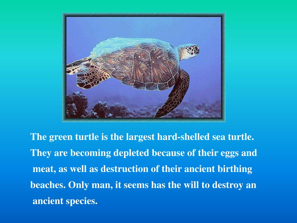 The green turtle is the largest hard-shelled sea turtle.