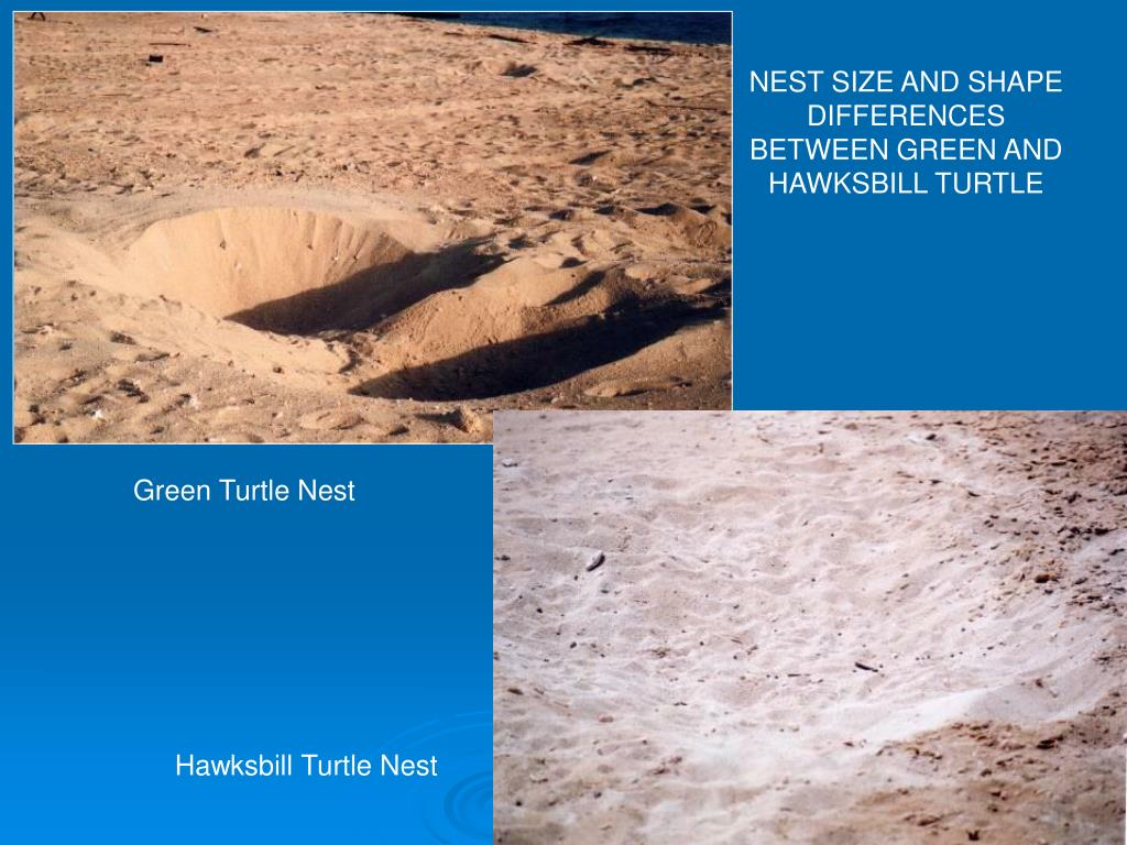 NEST SIZE AND SHAPE DIFFERENCES BETWEEN GREEN AND HAWKSBILL TURTLE