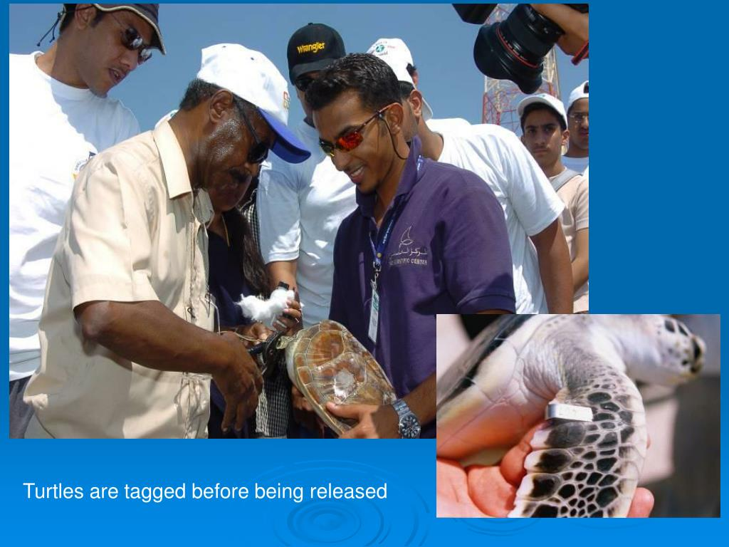 Turtles are tagged before being released