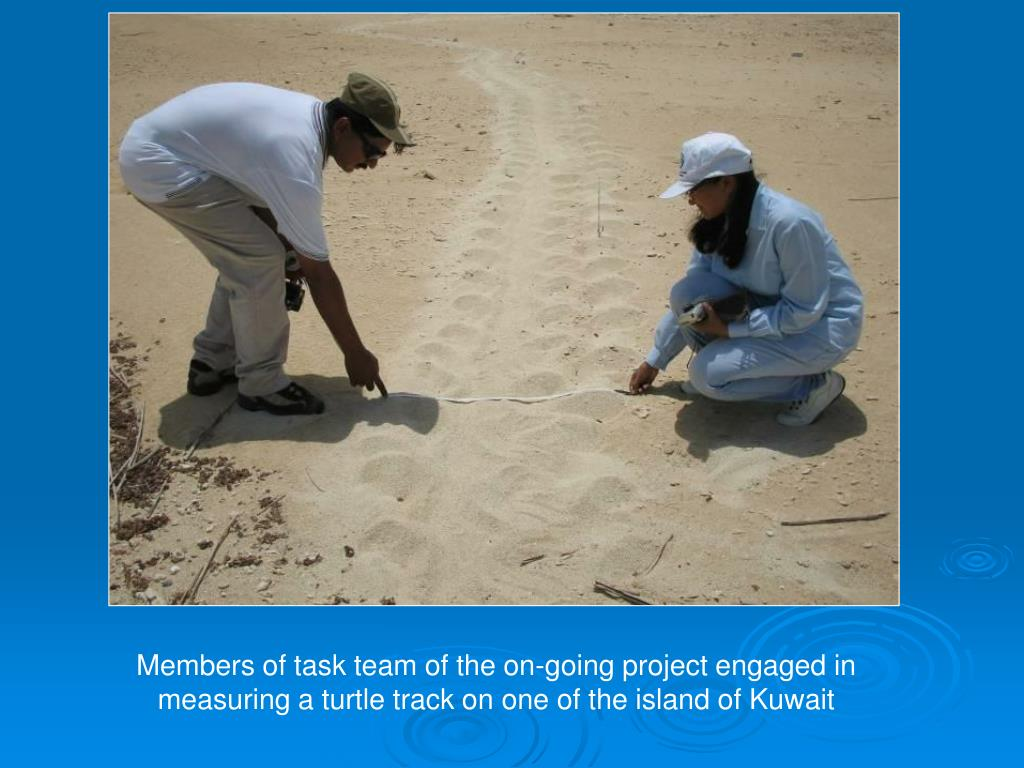 Members of task team of the on-going project engaged in measuring a turtle track on one of the island of Kuwait