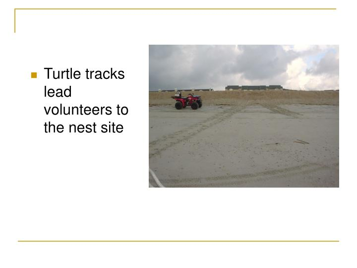 Turtle tracks lead volunteers to the nest site