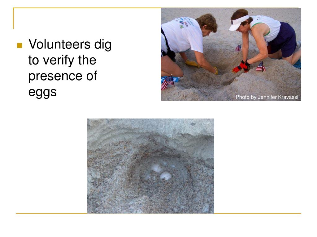 Volunteers dig to verify the presence of eggs
