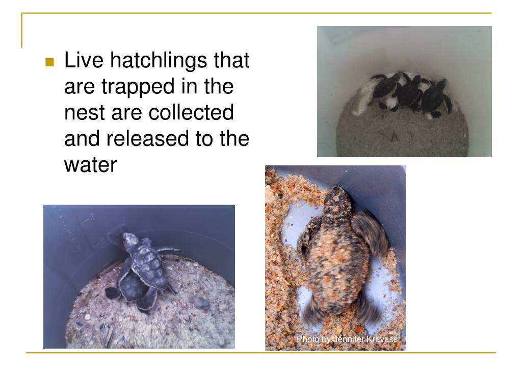 Live hatchlings that are trapped in the nest are collected and released to the water