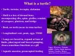 what is a turtle