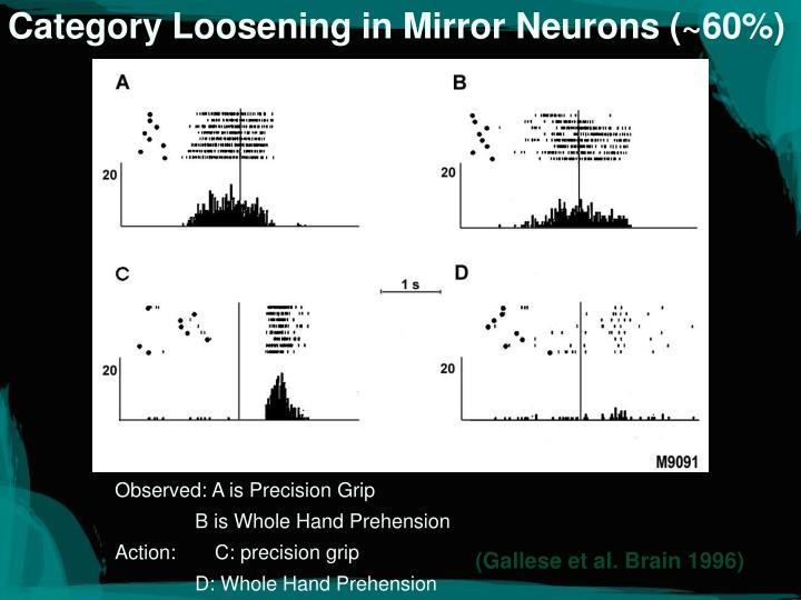 Category Loosening in Mirror Neurons (~60%)