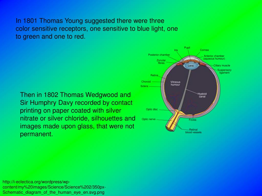 In 1801 Thomas Young suggested there were three color sensitive receptors, one sensitive to blue light, one to green and one to red.