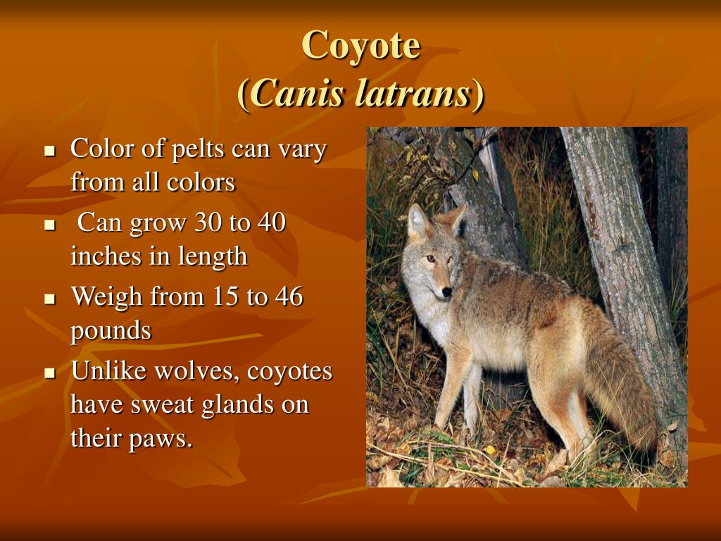 Color of pelts can vary from all colors