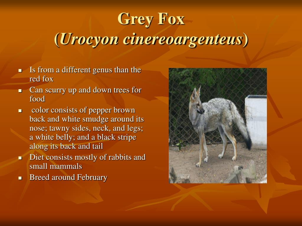 Is from a different genus than the red fox