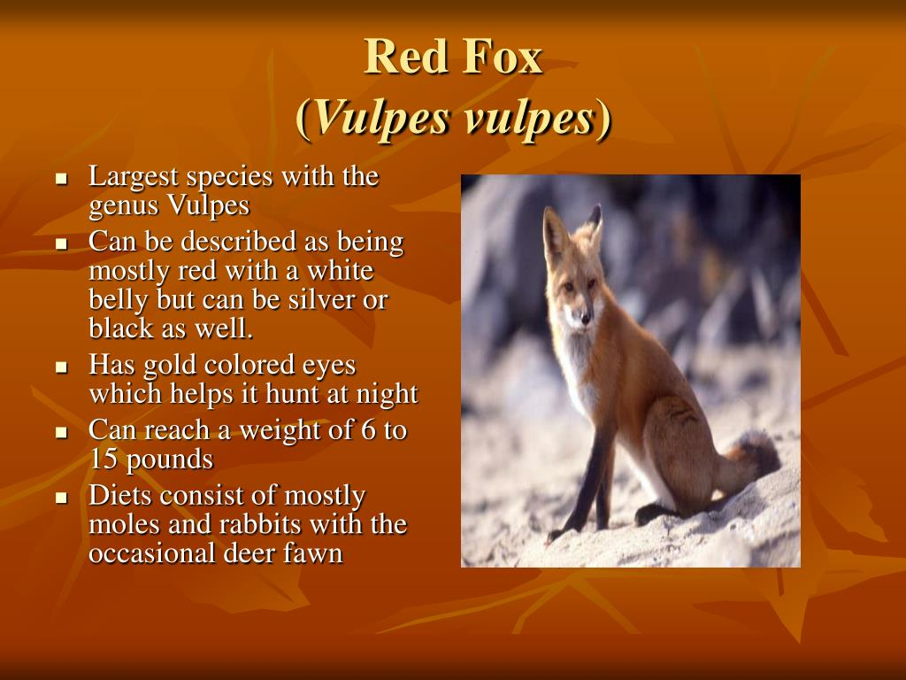 Largest species with the genus Vulpes