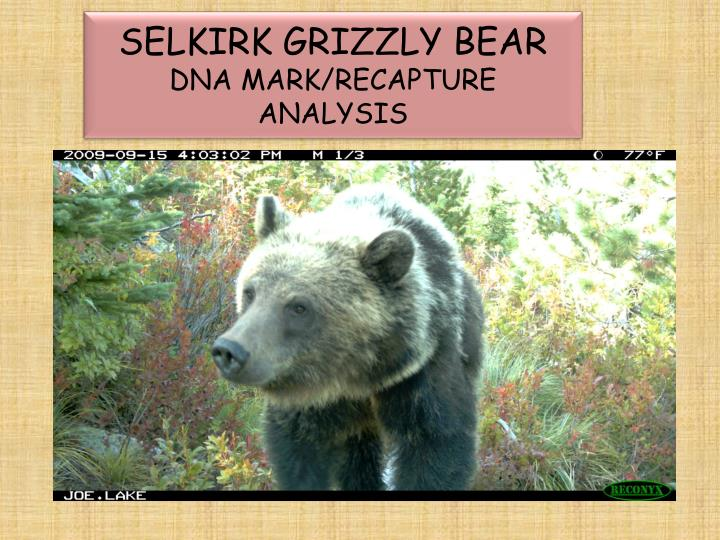 Selkirk grizzly bear dna mark recapture analysis