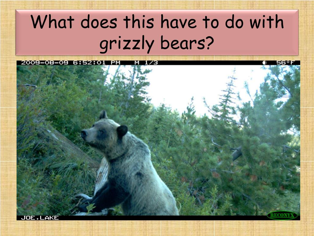 What does this have to do with grizzly bears?