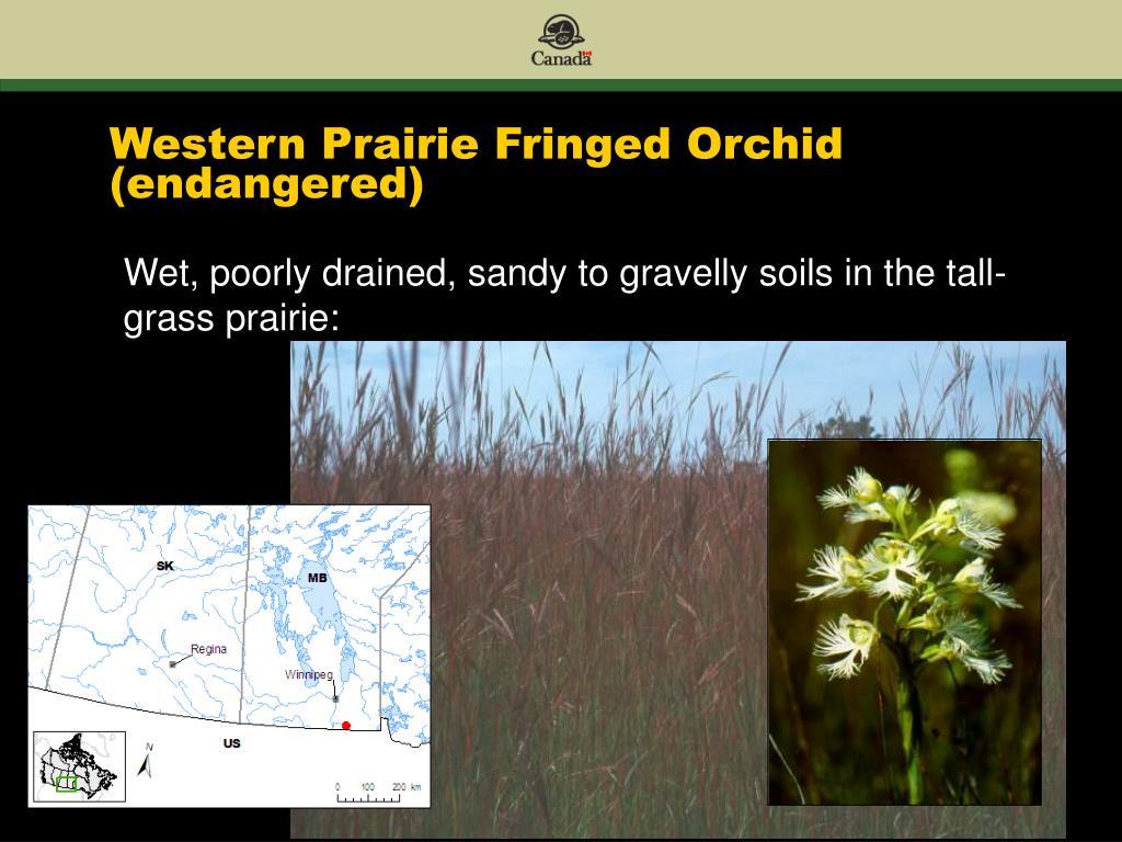 Western Prairie Fringed Orchid (endangered)