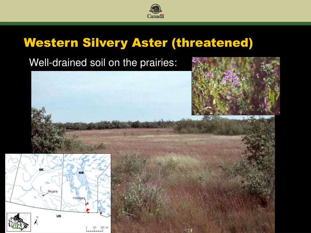 Western Silvery Aster (threatened)