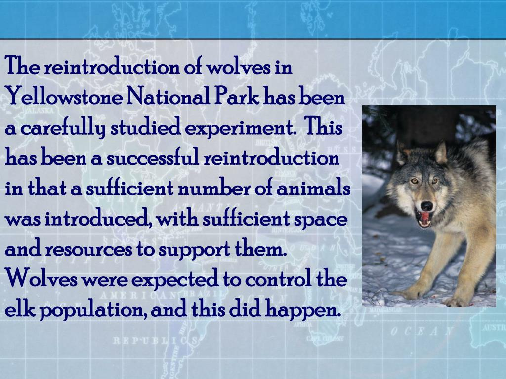 The reintroduction of wolves in Yellowstone National Park has been a carefully studied experiment.  This has been a successful reintroduction in that a sufficient number of animals was introduced, with sufficient space and resources to support them.  Wolves were expected to control the elk population, and this did happen.