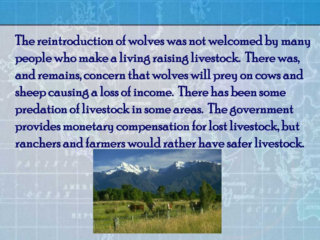 The reintroduction of wolves was not welcomed by many people who make a living raising livestock.  There was, and remains, concern that wolves will prey on cows and sheep causing a loss of income.  There has been some predation of livestock in some areas.  The government provides monetary compensation for lost livestock, but ranchers and farmers would rather have safer livestock.