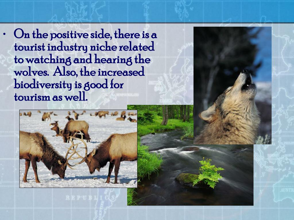 On the positive side, there is a tourist industry niche related to watching and hearing the wolves.  Also, the increased biodiversity is good for tourism as well.