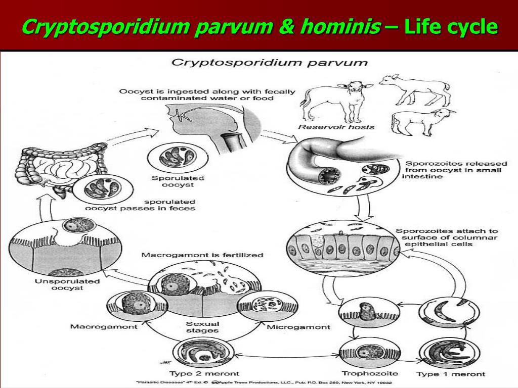 Cryptosporidium parvum & hominis