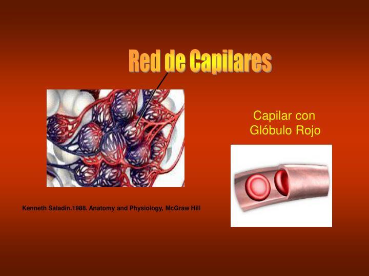 Red de Capilares