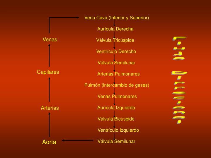 Vena Cava (Inferior y Superior)