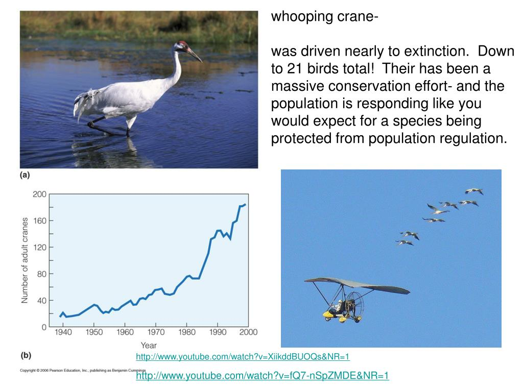 whooping crane-