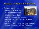 brucella in marine mammals