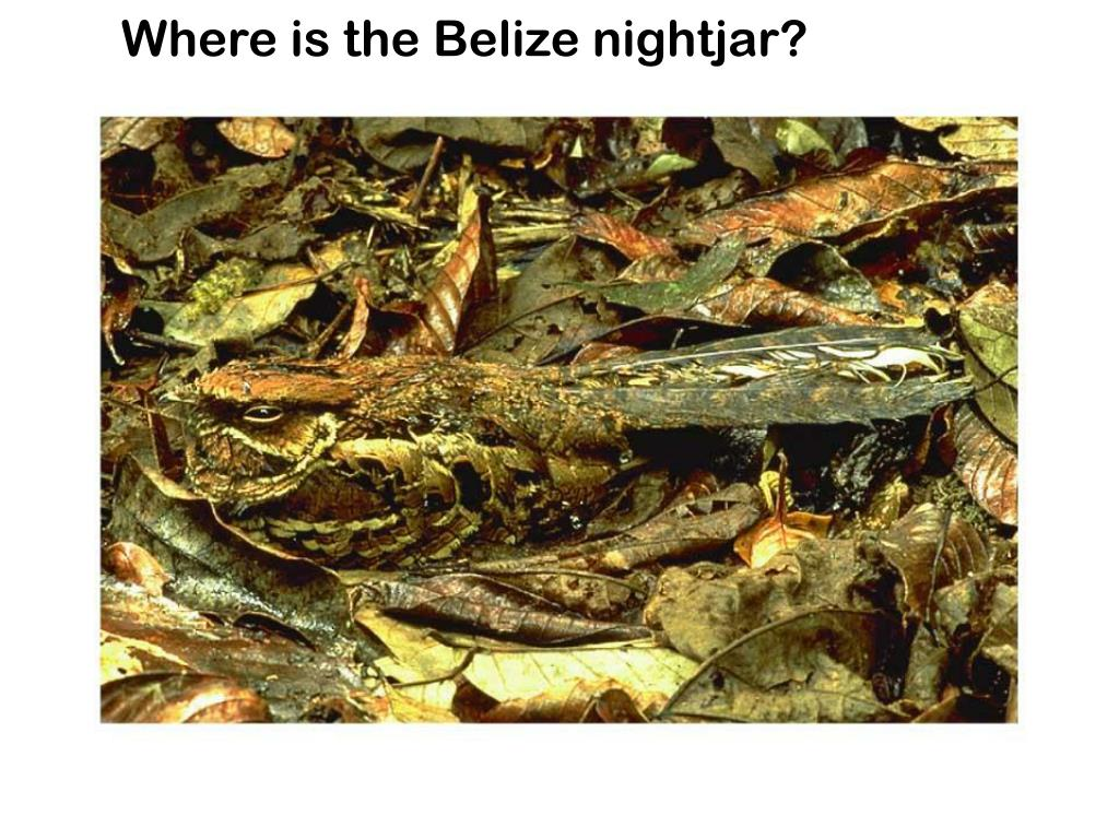 Where is the Belize nightjar?