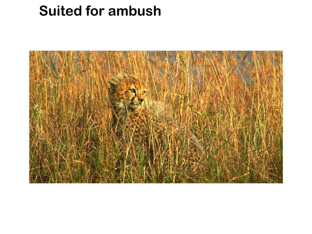 Suited for ambush