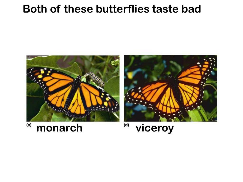 Both of these butterflies taste bad