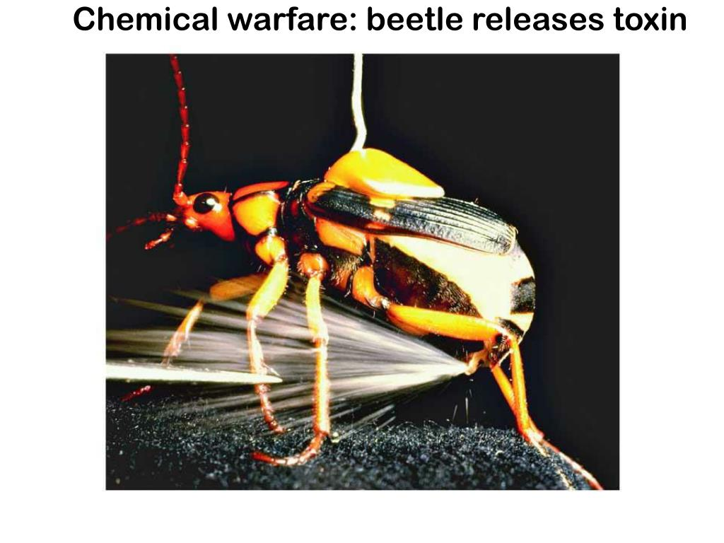 Chemical warfare: beetle releases toxin