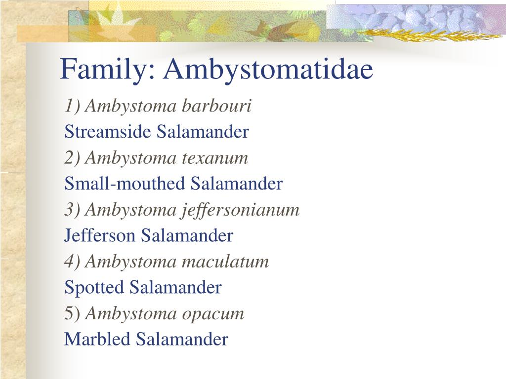 Family: Ambystomatidae