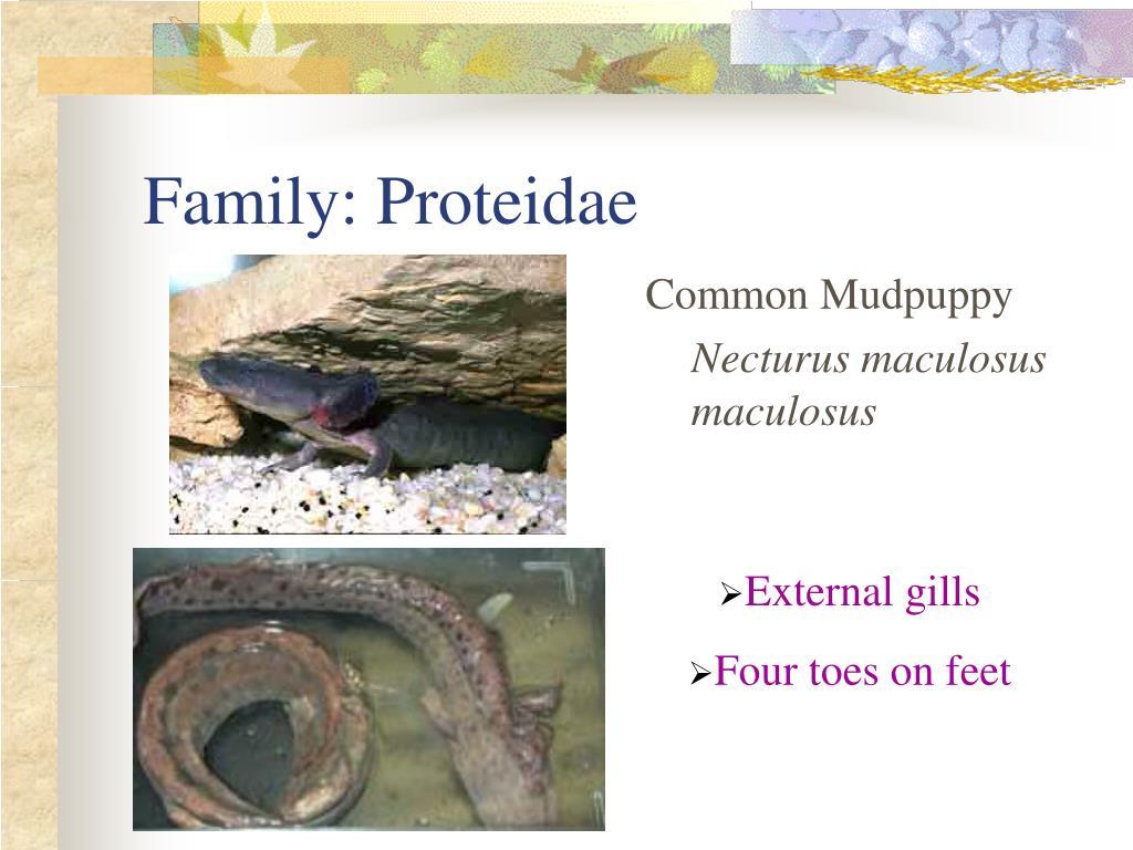 Family: Proteidae