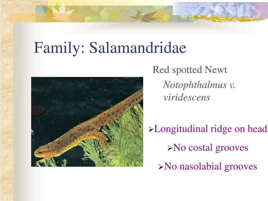 Family: Salamandridae