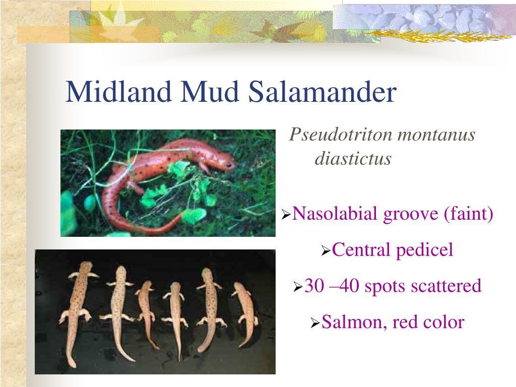 Midland Mud Salamander