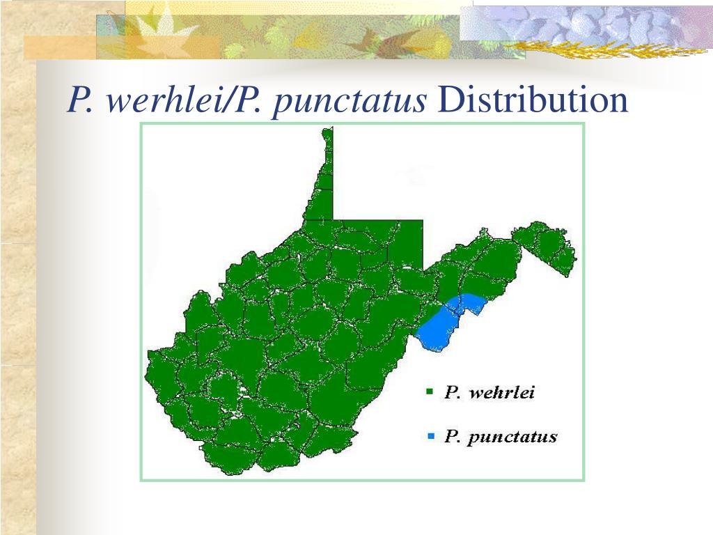 P. werhlei/P. punctatus