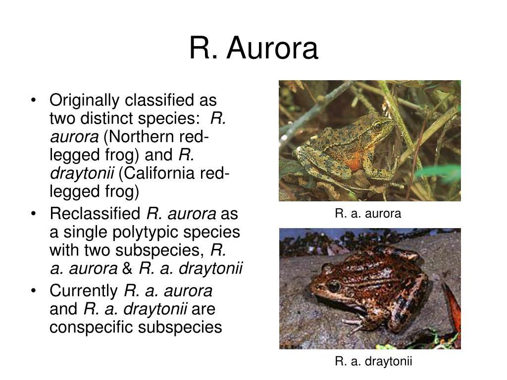 R. Aurora