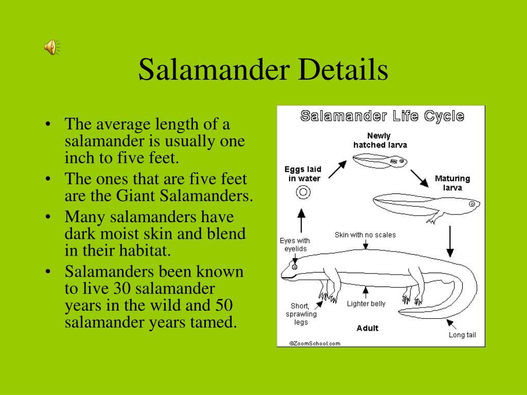 Salamander Details