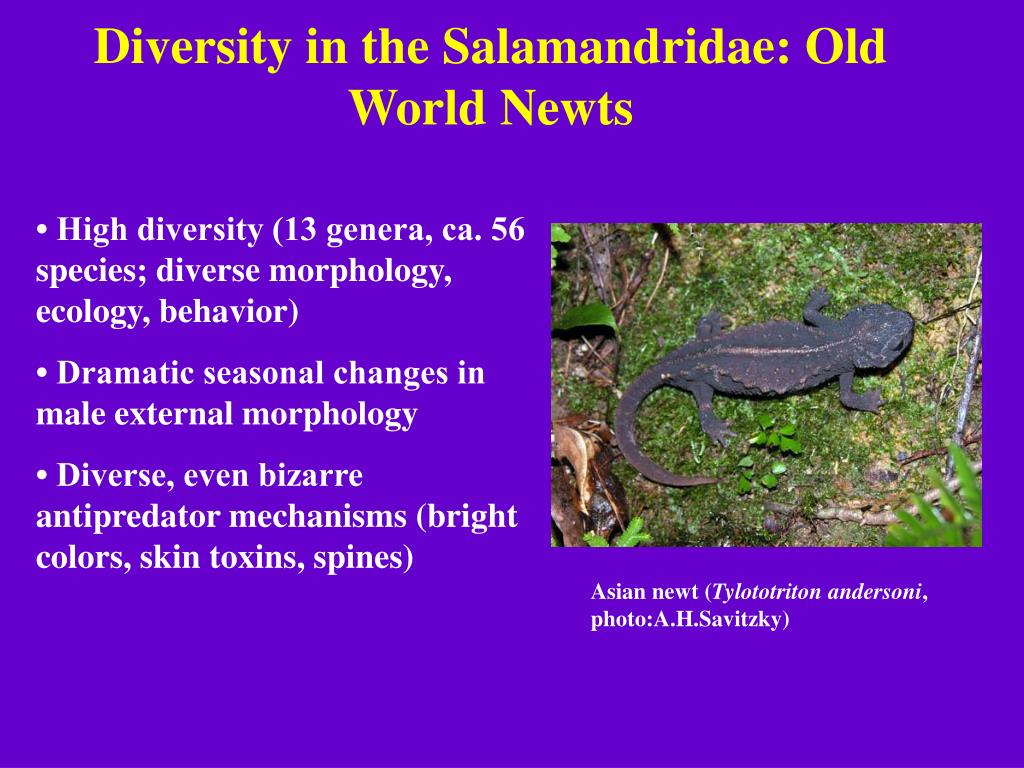 Diversity in the Salamandridae: Old World Newts