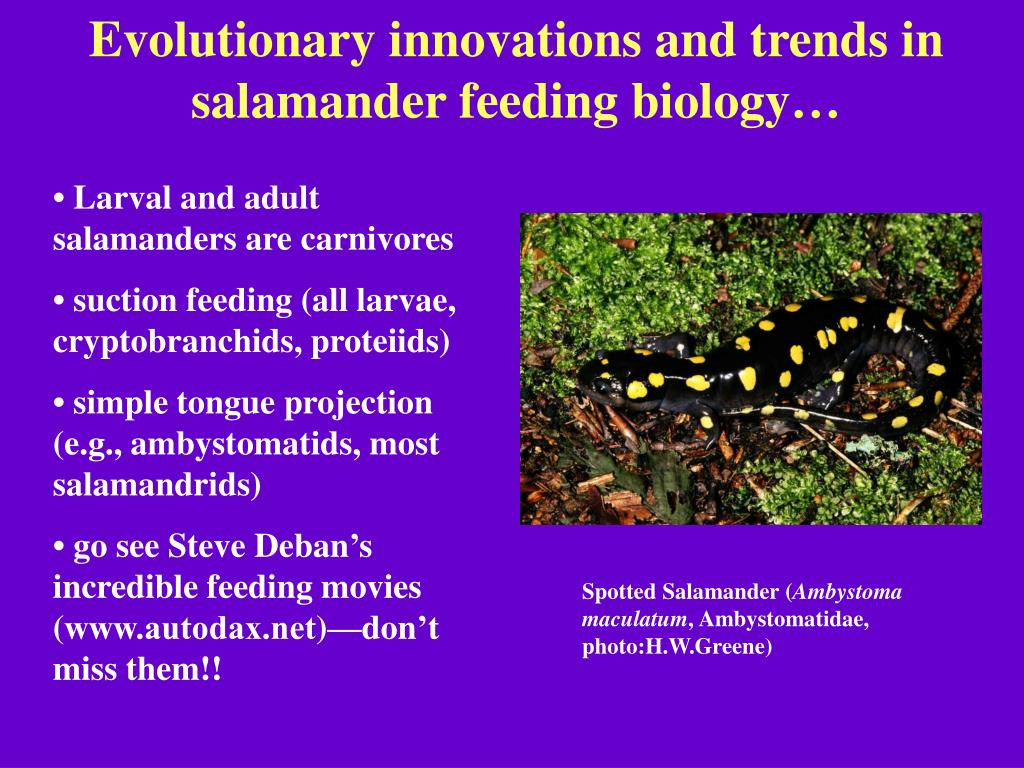 Evolutionary innovations and trends in salamander feeding biology…