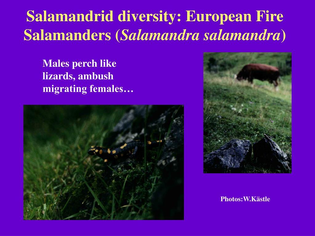 Salamandrid diversity: European Fire Salamanders (