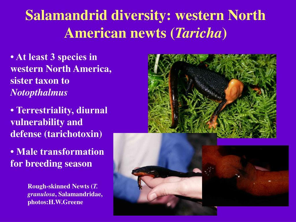 Salamandrid diversity: western North American newts (
