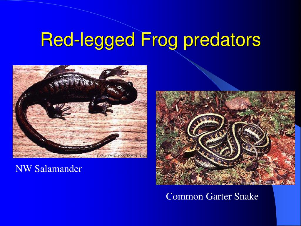 Red-legged Frog predators