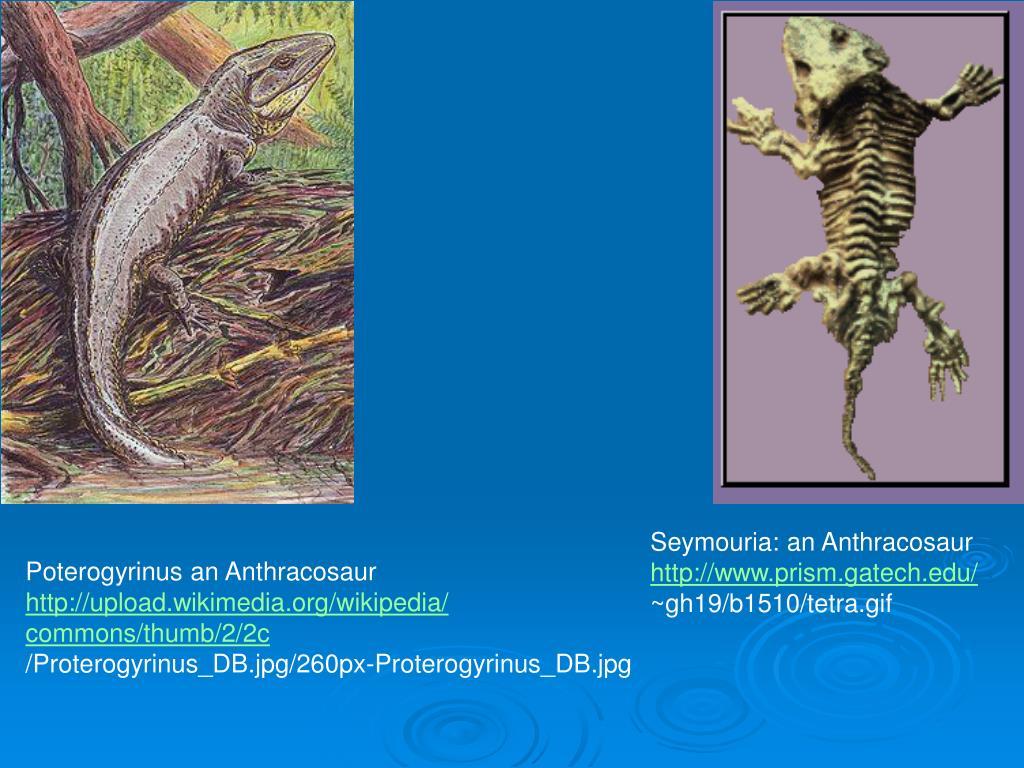 Seymouria: an Anthracosaur