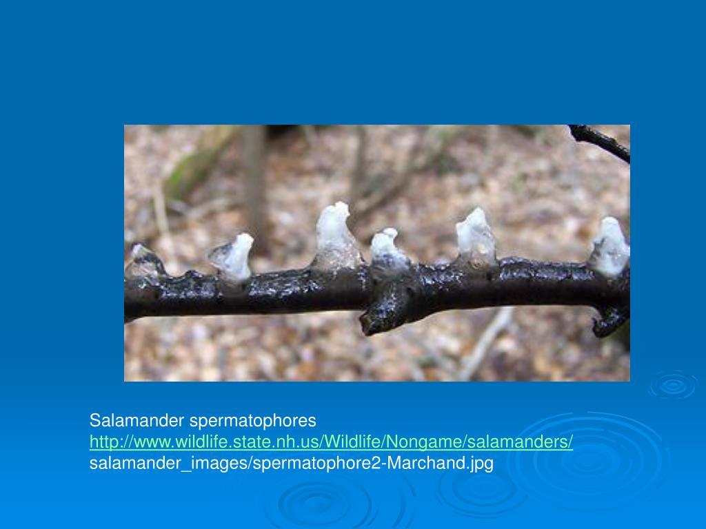 Salamander spermatophores