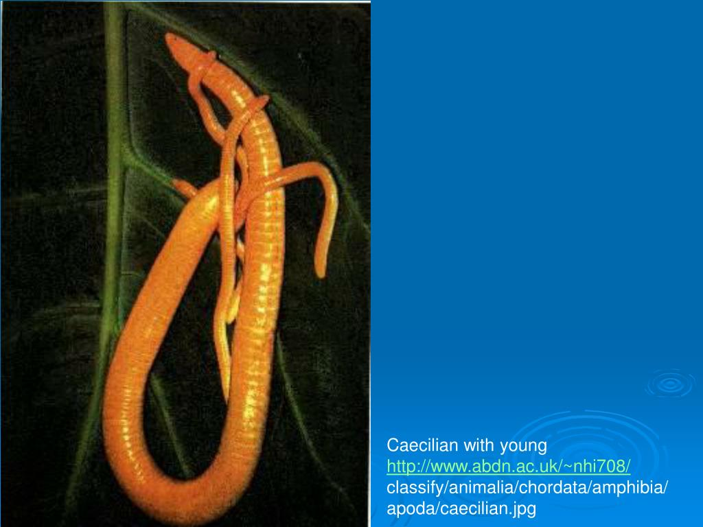 Caecilian with young