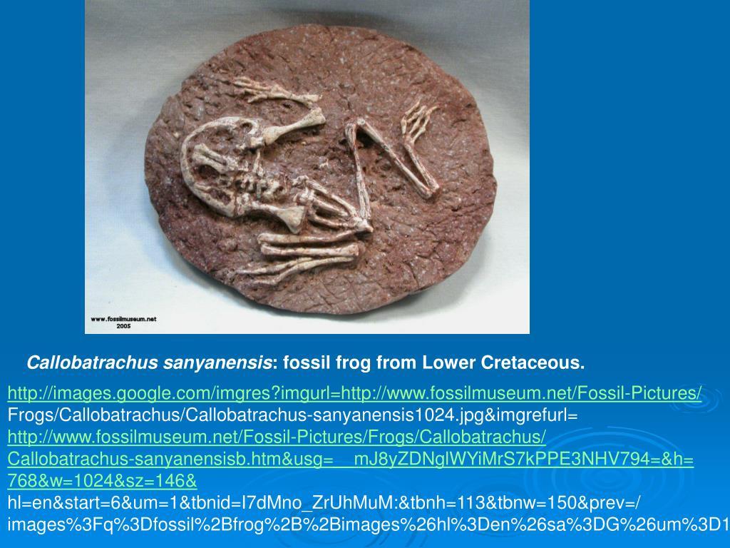 Callobatrachus sanyanensis