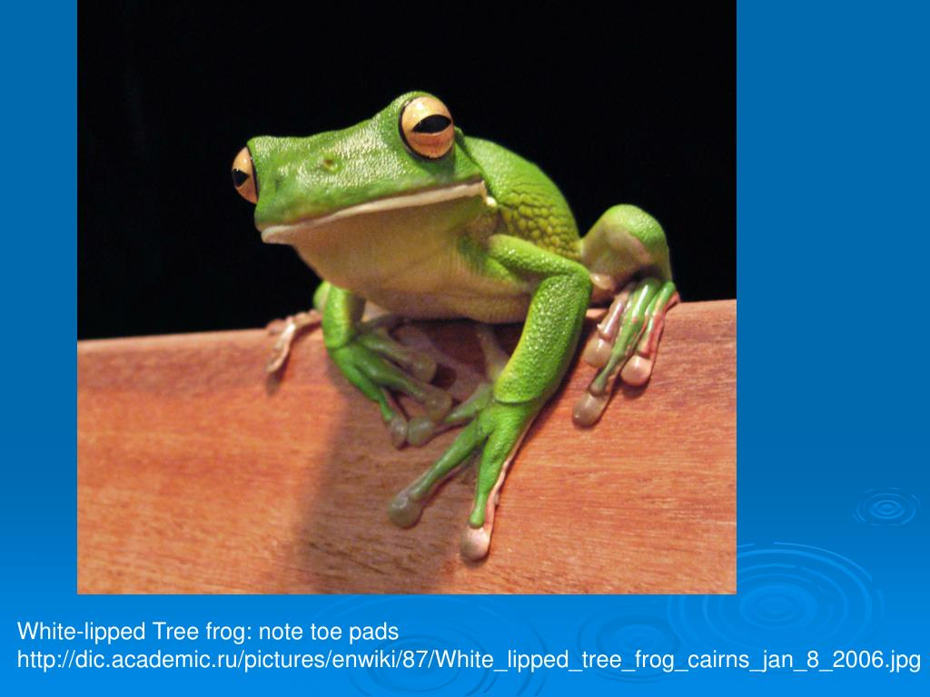 White-lipped Tree frog: note toe pads