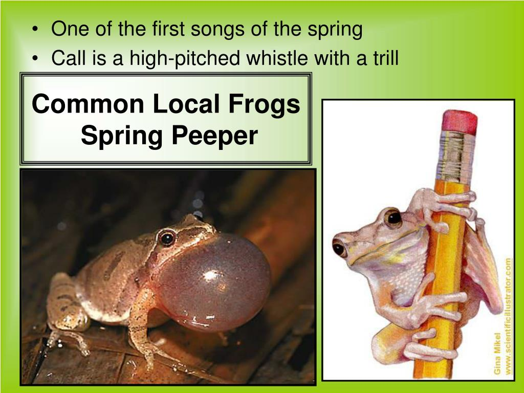 Common Local Frogs