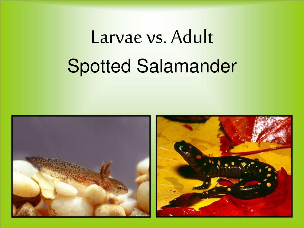 Larvae vs. Adult