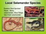 local salamander species