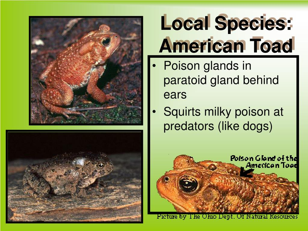 Local Species: American Toad